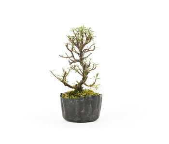 Rock cotoneaster, 15 cm, ± 5 years old