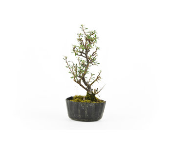 Rock cotoneaster, 17,8 cm, ± 5 years old