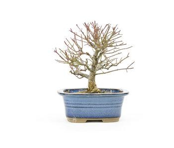 Albero mandrino (Mayumi), 12,5 cm, ± 20 anni