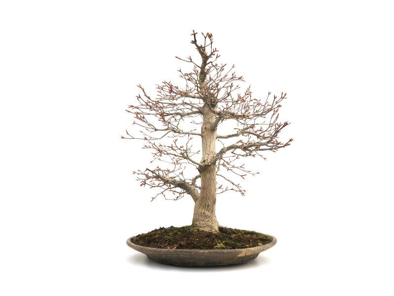 Japanse esdoorn, 58 cm, ± 40 jaar oud met een gebroken pot