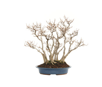 Trident maple, 37 cm, ± 40 years old