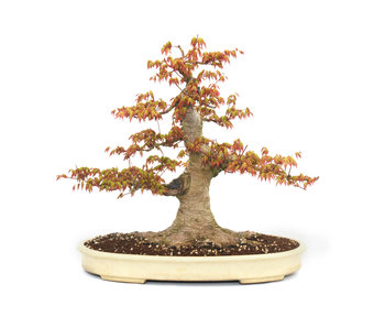 Japanese maple, 47 cm, ± 35 years old
