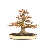 Japanse esdoorn, 47 cm, ± 35 jaar oud met een mooie nebari van 32 cm en een boomstamdiameter van 10 cm, in een handgemaakte pot van Yamafusa