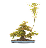 Japanese maple, 47 cm, ± 45 years old with a nicely spread nebari of 38 cm and a tree trunk of 12 cm