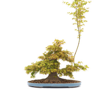 Japanese maple, 47 cm, ± 45 years old
