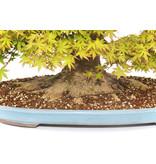 Japanse esdoorn, 47 cm, ± 45 jaar oud met een mooi verspreide nebari van 38 cm en een boomstam van 12 cm