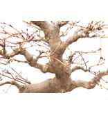 Japanse esdoorn, 45 cm, ± 35 jaar oud in gebroken pot