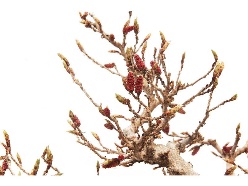 Koreaanse haagbeuk, 30 cm, ± 45 jaar oud