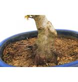 Japanse esdoorn, 30 cm, ± 25 jaar oud