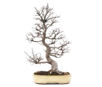 Spindletree alato (Nishikigi), 61 cm, ± 35 anni