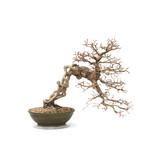 Koreaanse haagbeuk, 40 cm, ± 35 jaar oud