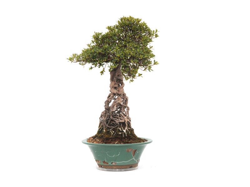 Japanse azalea (Satsuki), 60 cm, ± 35 jaar oud in gebroken pot