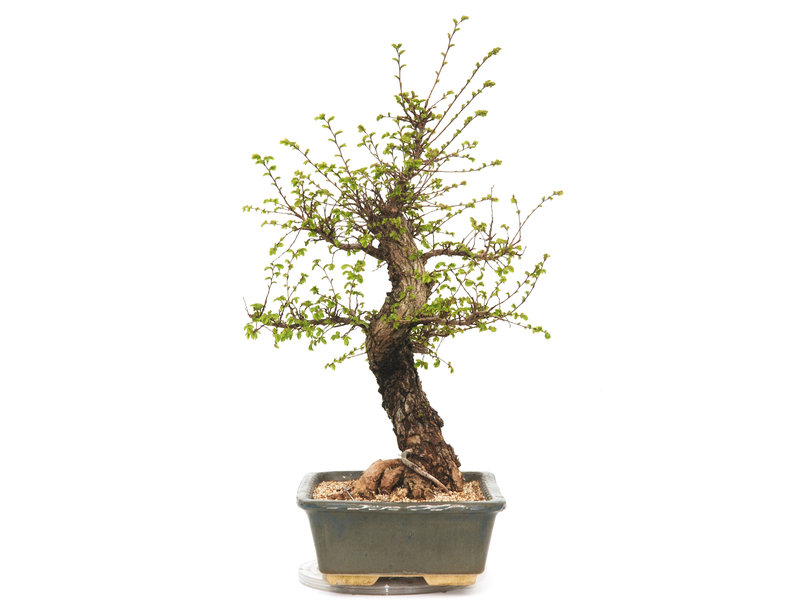 Cork bark elm with small leaves, 56 cm, ± 18 years old
