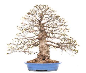 Carpino coreano, 70 cm, ± 80 anni