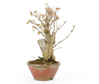 Trident maple, 17,7 cm, ± 10 years old