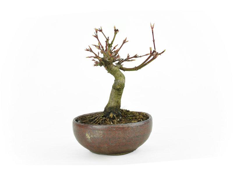 Japanse esdoorn, 10,8 cm, ± 10 jaar oud in een handgemaakte Japanse pot