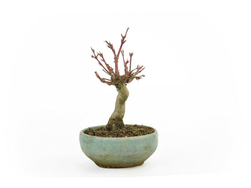 Japanse esdoorn, 12 cm, ± 10 jaar oud in een Japanse handgemaakte pot