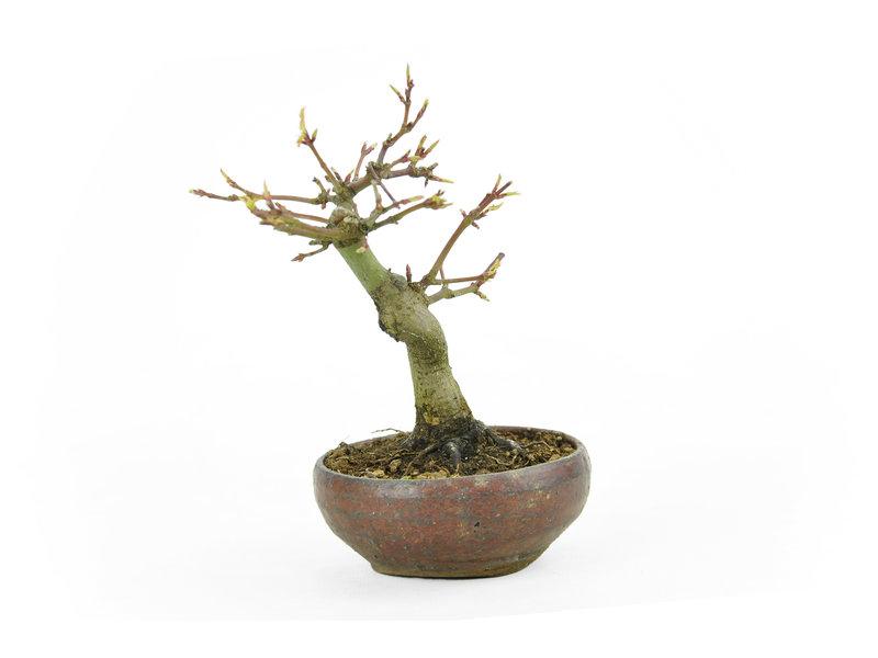 Japanse esdoorn, 13 cm, ± 10 jaar oud in een Japanse handgemaakte pot