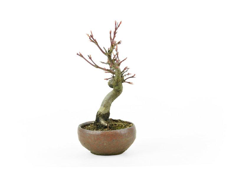 Japanse esdoorn, 13,7 cm, ± 10 jaar oud in een handgemaakte Japanse pot