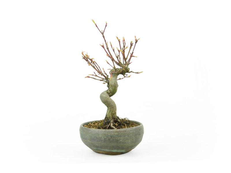 Japanse esdoorn, 14 cm, ± 10 jaar oud in een handgemaakte Japanse pot