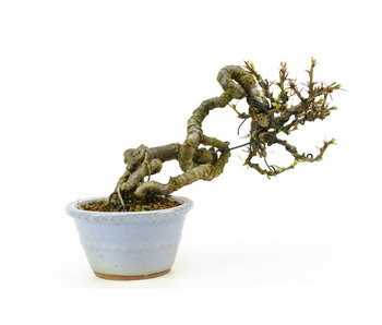 Caragana, 13,5 cm, ± 20 years old