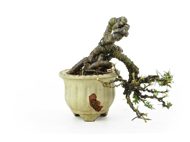 Caragana, 16,5 cm, ± 20 jaar oud in gebroken pot