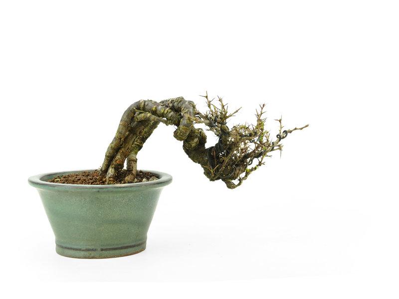 Caragana, 9,9 cm, ± 20 jaar oud