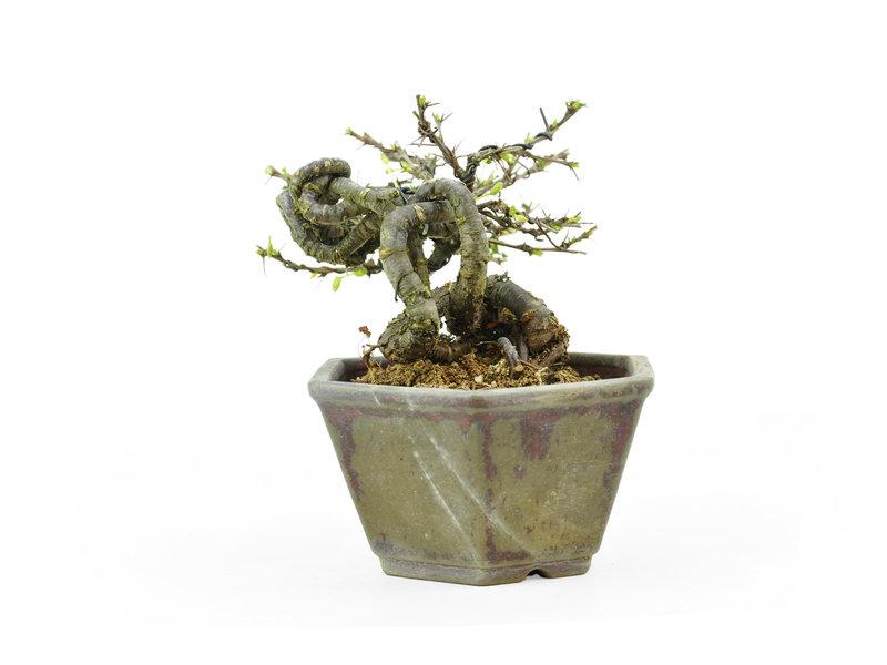 Caragana, 10,1 cm, ± 20 jaar oud