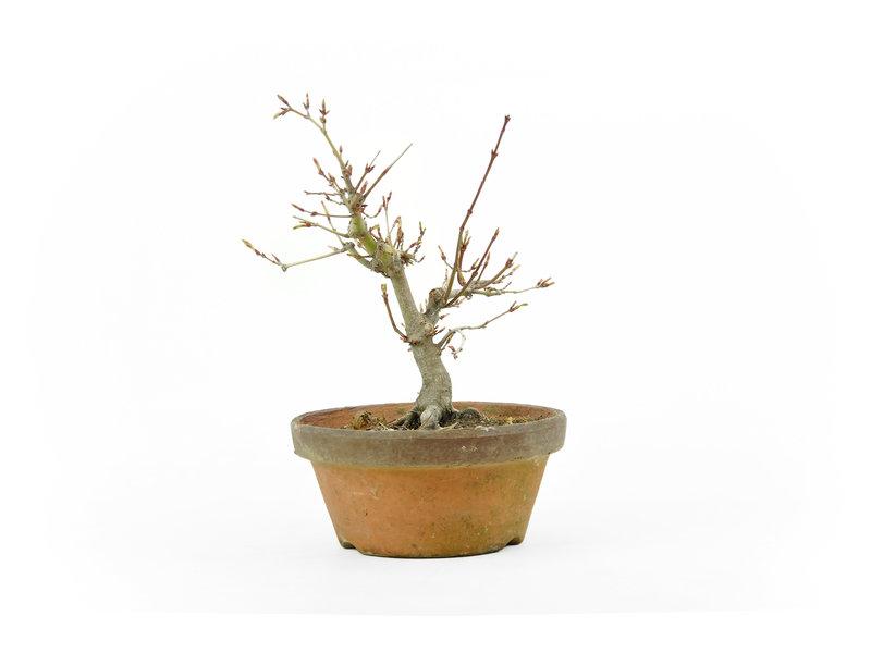 Japanse esdoorn, 19 cm, ± 18 jaar oud