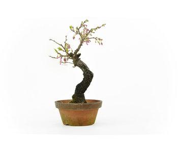 Prunus parvifolia or winter cherry (Jyuugatsu), 25 cm, ± 25 years old