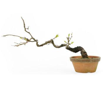 Prunus parvifolia or winter cherry (Jyuugatsu), 20 cm, ± 25 years old