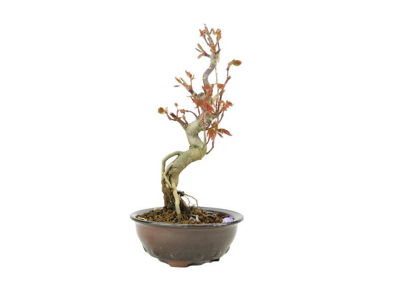 Japanse esdoorn, 17 cm, ± 10 jaar oud