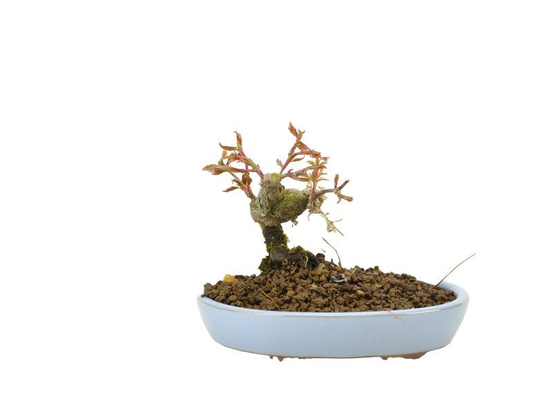 Japanse esdoorn, 9,2 cm, ± 10 jaar oud