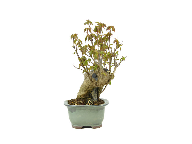 Trident maple, 15,2 cm, ± 10 years old