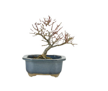 Spindle tree (Mayumi), 12 cm, ± 20 years old