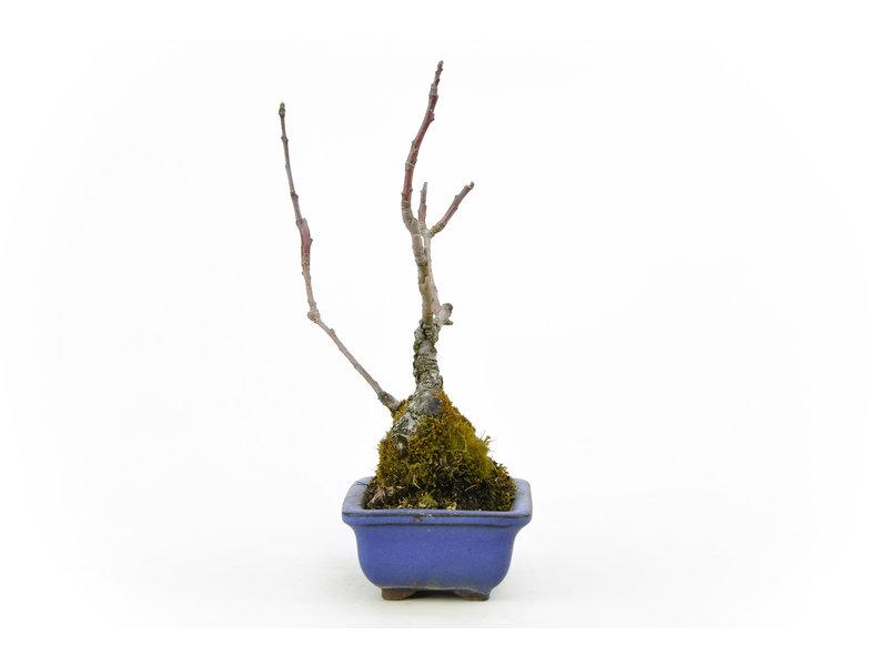 Micro Malus (Zumi), 22 cm, ± 20 jaar oud