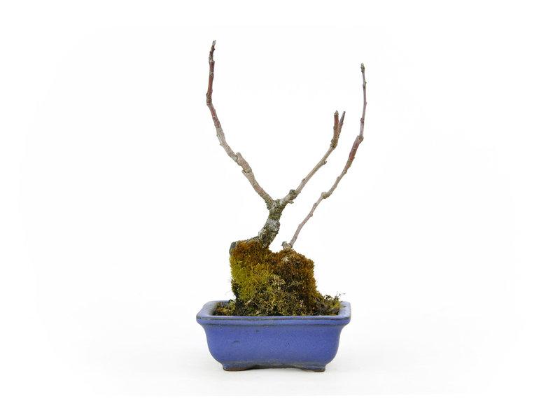 Japanse krabappel (Zumi), 22 cm, ± 20 jaar oud