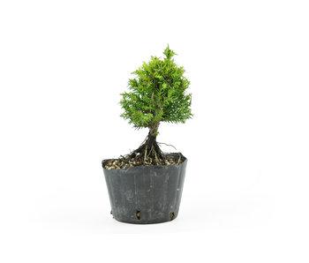 Japanese cedar, 13 cm, ± 8 years old