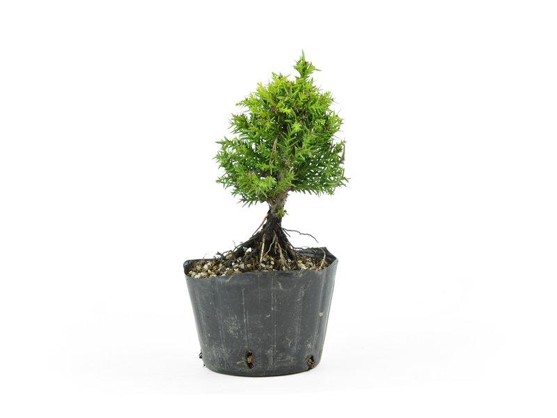 Japanse ceder, 13 cm, ± 8 jaar oud