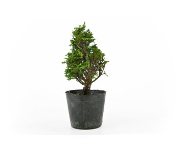 Japanese cypress, 16 cm, ± 12 years old