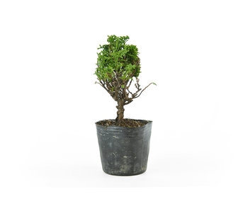 Japanese cypress, 13 cm, ± 12 years old