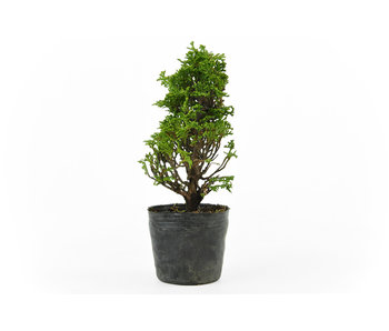 Japanese cypress, 17 cm, ± 12 years old
