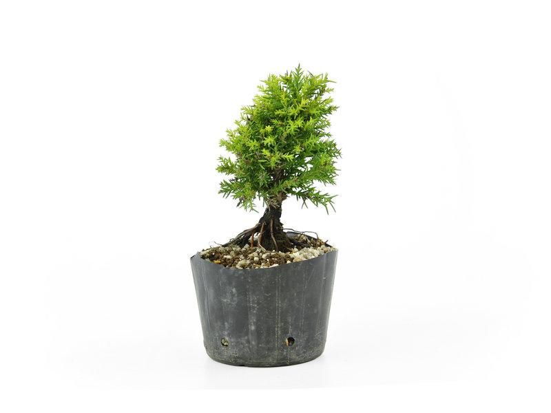 Japanse ceder, 11,5 cm, ± 8 jaar oud