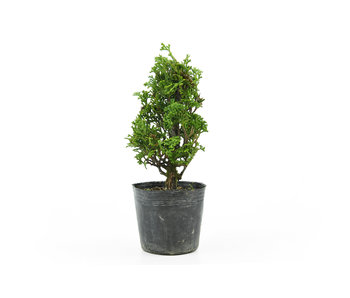 Japanese cypress, 16,5 cm, ± 12 years old