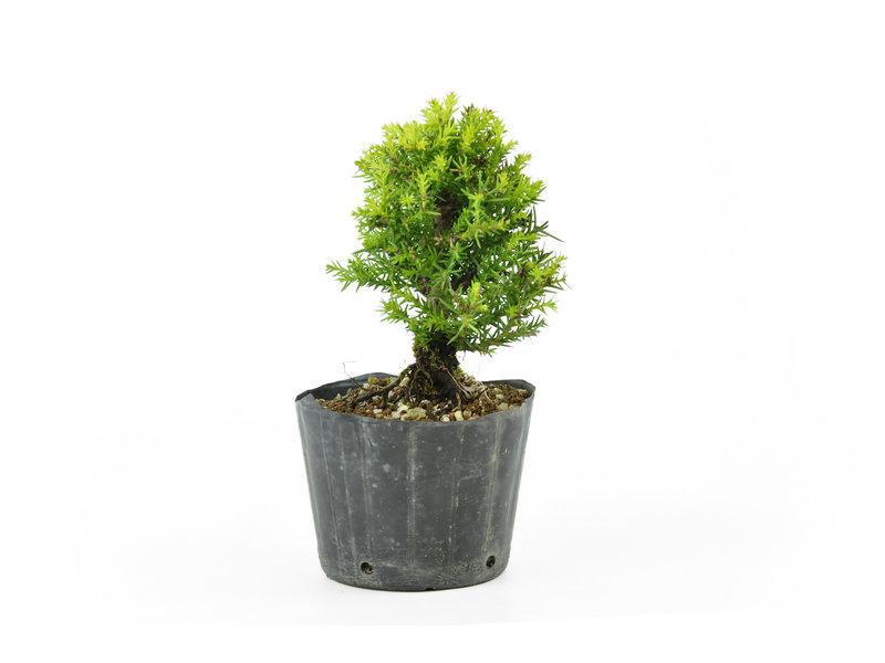 Japanse ceder, 12 cm, ± 8 jaar oud