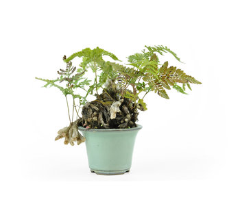 Japanese fern (Nekko), 13 cm, ± 10 years old