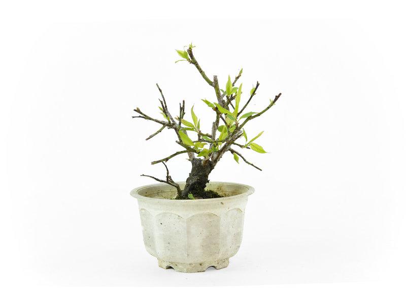 Japanse pruim (Yabai), 12,5 cm, ± 8 jaar oud met helderwitte bloemen