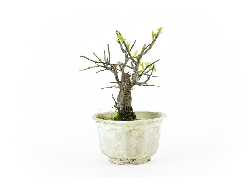 Japanse pruim (Yabai), 14 cm, ± 8 jaar oud met helderwitte bloemen