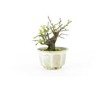 Japanese plum (Yabai), 12 cm, ± 8 years old