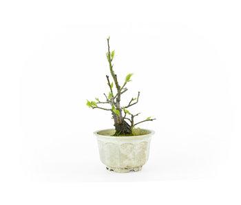 Japanese plum (Yabai), 17 cm, ± 8 years old